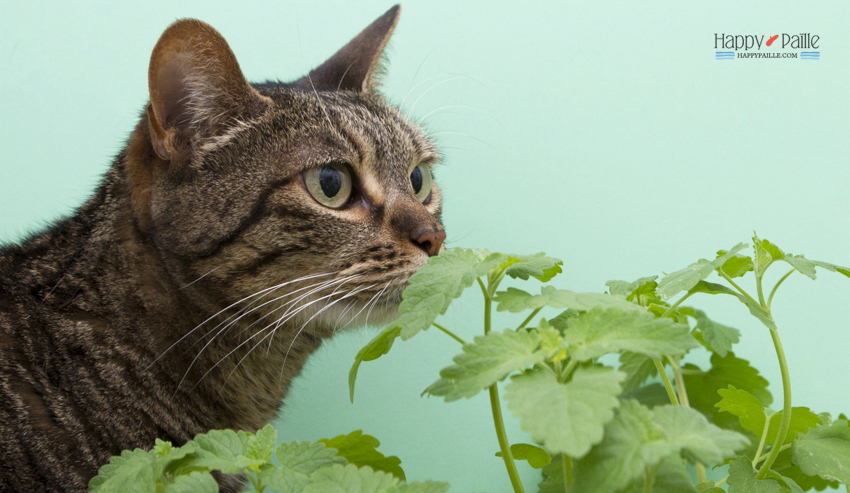 herbe aux chats - cataire chat - menthe aux chats
